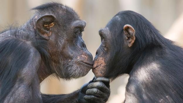 AC5AWG A male and a female chimpanzee (Pan troglodytes) looking deeply in each others eyes